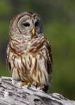 0286 Barred Owl 5x7