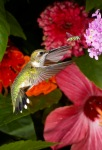 A Ruby-throated humming chasing a Yellow Jacket  away from its flower