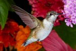 Ruby Throated Hummingbird Closeup