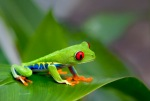 Costa Rican Red Eye Tree Frog