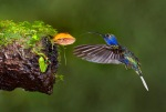 A Violet Sabrewing Hummingbird goes after an ant on a mushroom while a Red-eye Tree frog stalks from below.