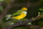 Silver-throated Tangier
