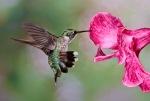 1D RGB 9139 Hummingbird 10