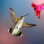 1D RGB 9419 Hummingbird 10