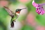 1D RGB 9668 Hummingbirds 10