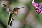 1D RGB 9677 Hummingbirds 10