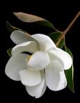 One Perfect Blossom, The Magnolia
