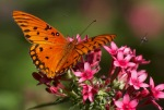 Gulf Fritillary Butterfly and Fly