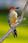 6168 Red Belly Woodpecker Straight