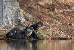 6830   River Otter Pair 08