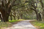 Santee Coastal Reserve:  The Oak Road