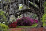 7D RGB-2731-Magnolia Gardens Oak and Azelias