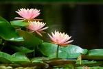 9158 3 Pink Water Lilys