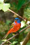 GH2 RGB 0833 Painted Bunting 11