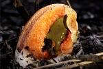 Rotten Meat Mushroom