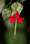 The small red flower...