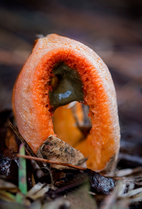 Rotten Meat Mushroom, member of the Stinkhorn family.  Fuji X-E1 with the Fuji 60mm macro lens.