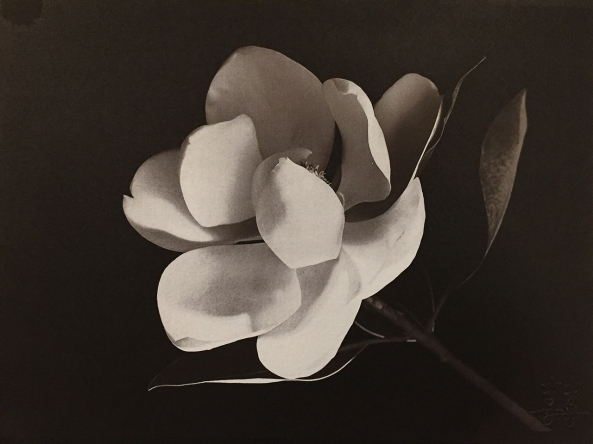 Magnolia Blossom, Gold Toned Van Dyke Brown Prints on  Lana Aquarelle 140lb HP  paper