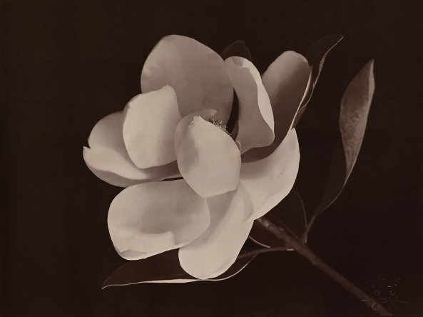 Magnolia, Van Dyke Brown, Lana Paper, Fumed Alumina Brush Coated, Gold Toned