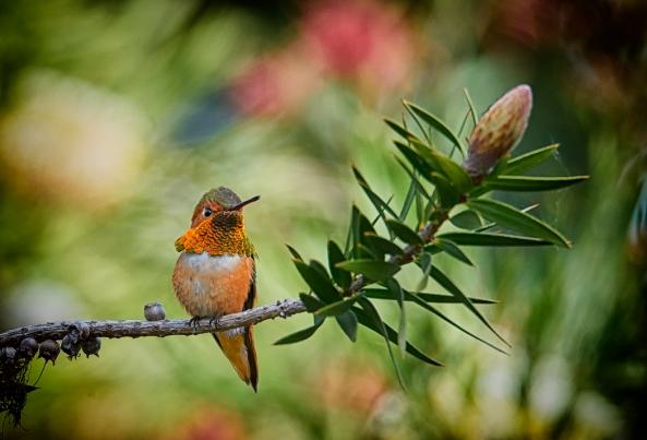 Super Bokeh: Allen's Hummingbird