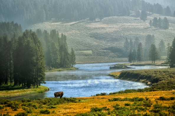 Buffalo on the Yellowstone